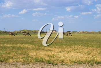 Royalty Free Photo of Camels in Turkmenistan