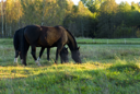 Royalty Free Photo of Horses Grazing
