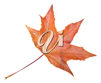Royalty Free Photo of a Maple Leaf