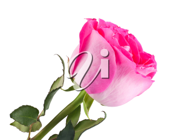 Royalty Free Photo of a Rose Bloom