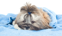 Funny puppy with a blue towel isolated on white background