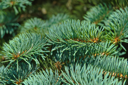 Pine tree, the symbol of Christmas. Closeup of the branches