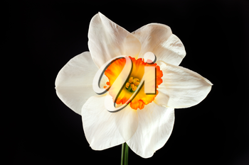 White narcissus flower with yellow petals isolated on black background