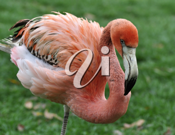 Royalty Free Photo of a Caribbean Pink Flamingo