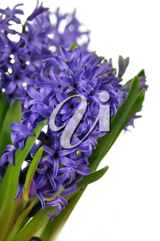 blue Hyacinth flowers on a white background