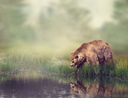 Brown Bear Near the Pond with Reflection