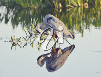 Great Blue Heron in a Lake with Reflection