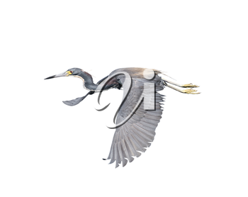 Tricolored Heron isolated on white background
