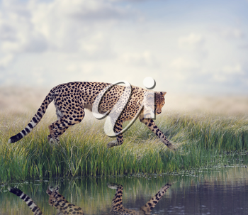 Cheetah Running to the pond