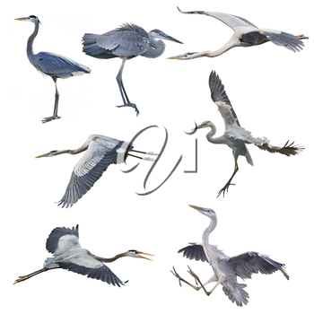 Set of Great Blue Herons isolated on white background