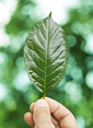 Fresh green leaf in hand over defocus summer background