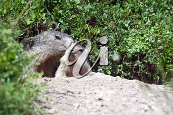 alpine baby marmot and mother