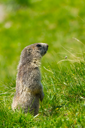 A cute marmot in the alps