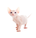Royalty Free Photo of a Sphynx Cat