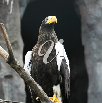 Royalty Free Photo of an Eagle