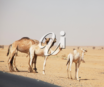 Royalty Free Photo of Camels in the Sahara