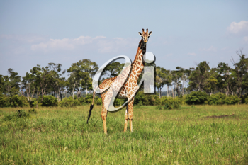 Royalty Free Photo of a Giraffe