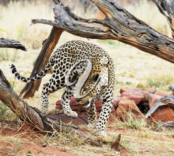 Royalty Free Photo of a Leopard