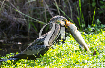American Anhinga ,Everglades National Park, Florida