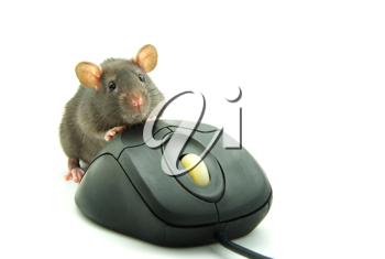 Royalty Free Photo of a Rat on a Computer Mouse