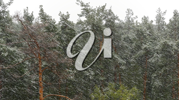 Snow blizzard in the pine forest. UltraHD stock footage.