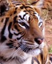 Royalty Free Photo of a Tiger