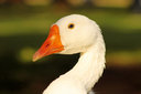 Striking Close-Up Picture of a Goose Head