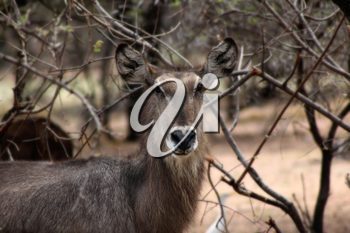 Alert Waterbuck Listening Carefully to Every Sound