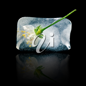 flower in ice cube on a black background