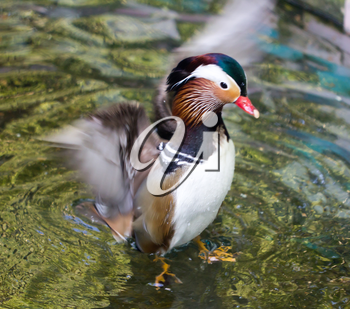 Daisy Duck in the water