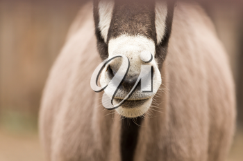nose antelope in nature. portrait