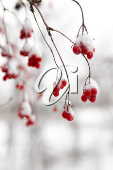 Kalina red in the snow in the winter in nature