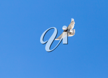 One pigeon in flight against a blue sky
