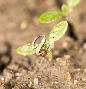 green sprout in the ground. macro