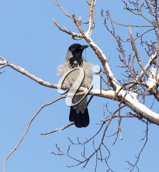 raven in the tree