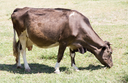 cow in a pasture in nature