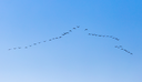 a flock of birds flying south in the blue sky