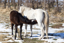 Horse feeds foal