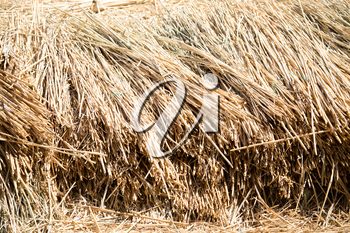 Yellow hay is dried on the ground as a background .