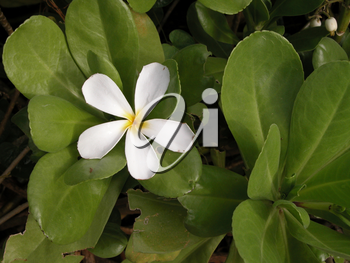 Royalty Free Photo of a White Plumeria Flower