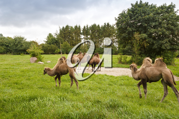 The group of camels in the zoo.