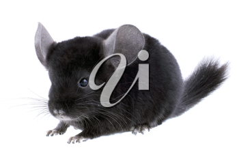 Black ebonite chinchilla on white background. Isolataed