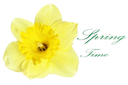 Beautiful spring single flower: yellow narcissus (Daffodil). Isolated over white.