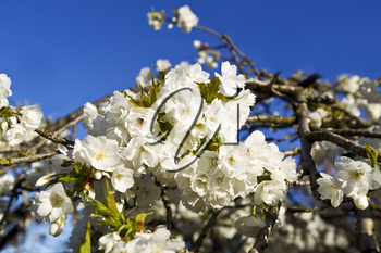 Asian cherry tree in full bloom with blue sky in background