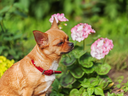 Red chihuahua dog on garden background. Selective focus.