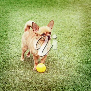 Red chihuahua dog and yellow ball on green grass with retro filter effect.