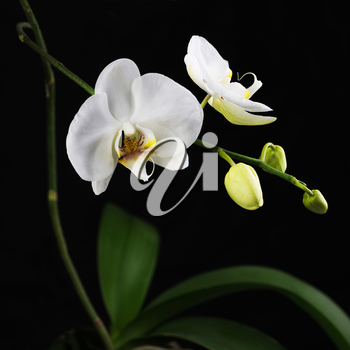Beautiful white orchid branch on black background. Closeup.