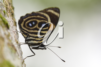 Royalty Free Photo of a Blue and Orange 88 (Callicore Tolima) on a Tree Trunk