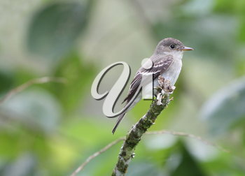 Tropical Pewee (Contopus cinereus) perched on a tree branch
