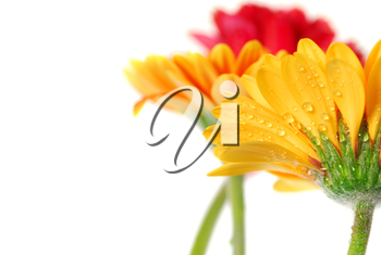 Several colorful gerbera flowers with dew drops isolated on white background